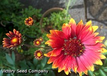 Blanketflower - Gaillardia arisata