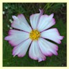 Cosmos, Candystripe