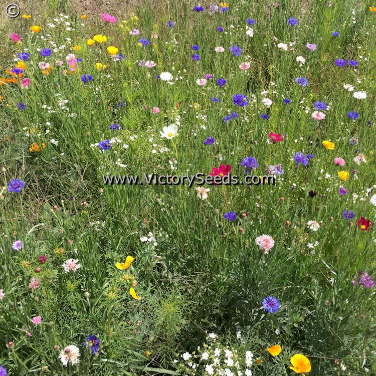North American Wildflower Mix