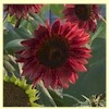 Sunflower - 'Chocolate Cherry'