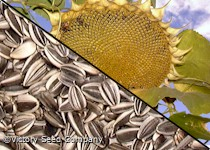 Sunflower, Giant Greystripe