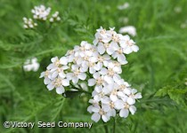 Yarrow, White