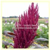 Red Garnet Amaranth