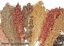 Colored Uprights Sorghum