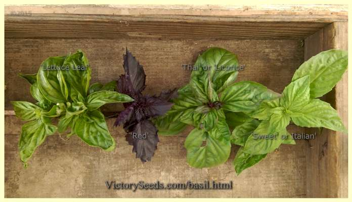 """Variety is the spice of life."" Here are four varieties of basil shown in comparison to one another."