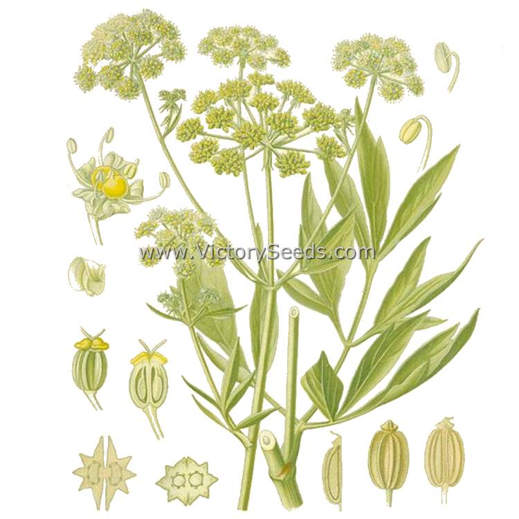 Lovage Levisticum Officinale Herb Seeds From Victory Seeds