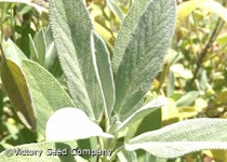 Sage (aka Common or Garden Sage)