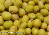 Velvet Soybean<br><b>Back for 2020</b>