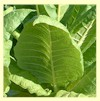 Burley Mammoth (aka KY16) Tobacco<br><b>SOLD OUT for 2020</b>