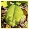 Maryland Mammoth Tobacco