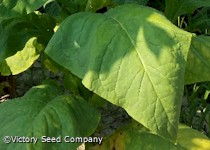 Virginia Bright Leaf Tobacco