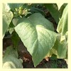 White Mammoth Tobacco