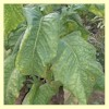 Yellow Orinoco Tobacco