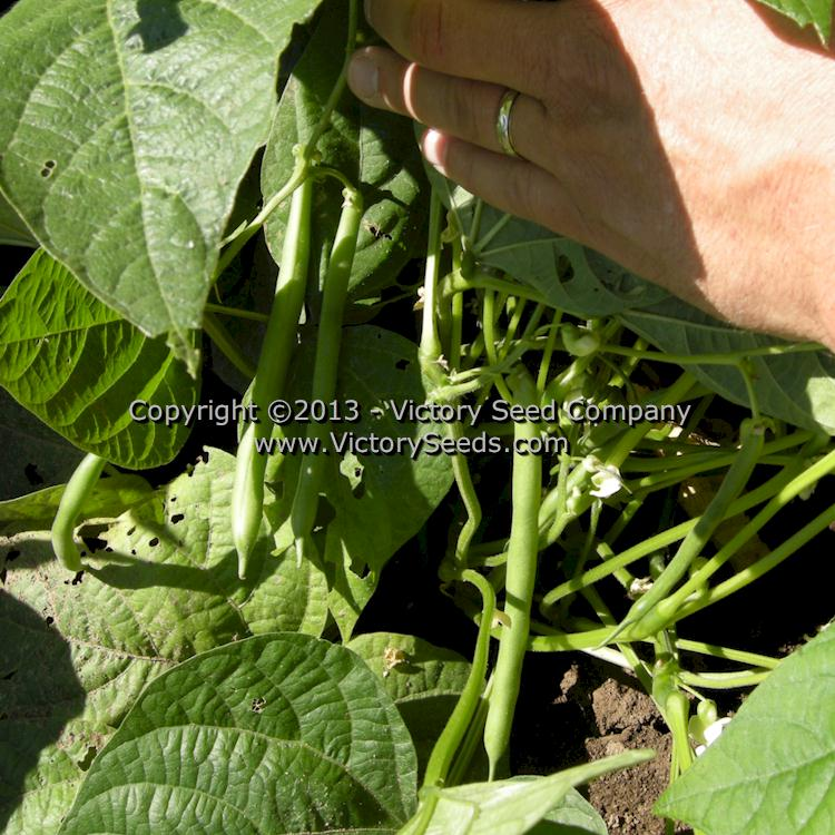 Blue Lake 274 Bush Green Bean Heirloom Open Pollinated