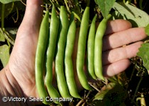 Blue Lake FM-1K Pole Green Bean