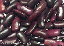 Large Purple Kidney (Norberg / Wanda) Bush Dry Bean