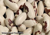 European Soldier Bush Dry Bean