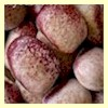 Red Nightfall (aka Mayflower) Bean<br><b>Sold Out</b>