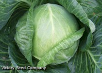 Danish Ballhead Cabbage