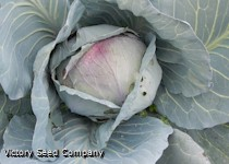 Drumhead Cabbage