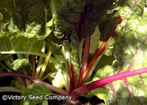 Rainbow Swiss Chard (Five Color Silverbeet)