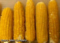 Ashworth Sweet Corn