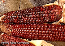 Bloody Butcher Dent Corn