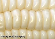 Gill's Early White Market Sweet Corn