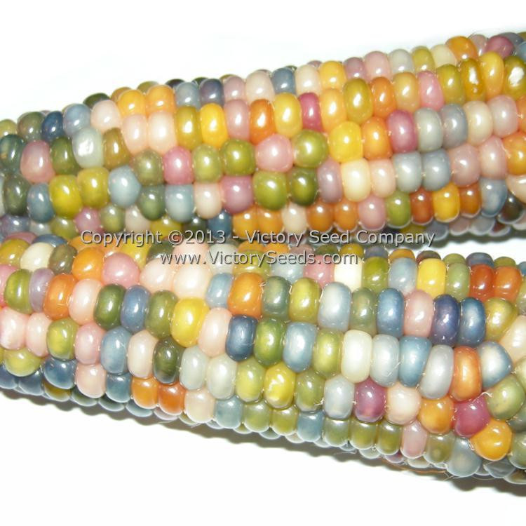 Glass Gem Corn Heirloom Open Pollinated Non Hybrid Victory Seeds