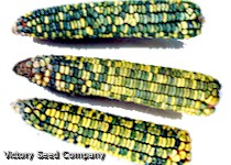 Green & Gold Dent Corn