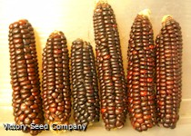 Mandan Red Flour Corn
