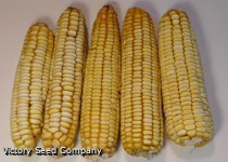 Nothstine Dent Corn<br><b>SOLD OUT for 2020</b>
