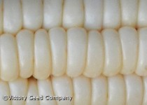 Will's Early June Sweet Corn<br><b>SOLD OUT - Please Check Back</b>