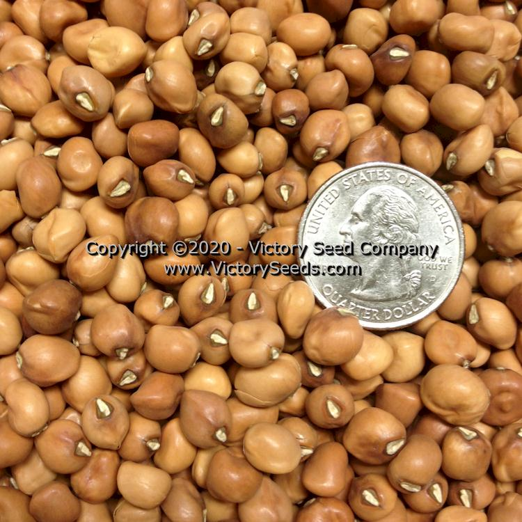 Southern/Cowpea