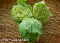 Great Lakes 659 Head Lettuce
