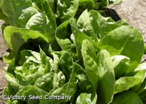Little Gem Cos Lettuce<br><b>SOLD OUT for 2020</b>