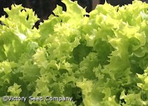 Lollo Bionda Leaf Lettuce