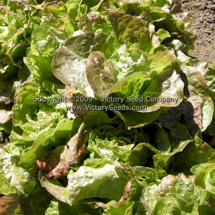 frilled leaves and bronze to green Buy 2 get 2 free Organic Non-Gmo-Bronze Mignonette Lettuce  small globular head a creamy-yellow center