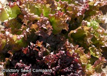 Ruby Leaf Lettuce