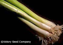 Nebuka Evergreen Bunching Onion
