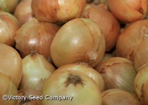 Texas Early Grano 502 PRR Onion