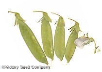 Dwarf Gray Sugar Pod Snap Pea