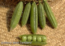 Little Marvel Garden Pea<br><b>SOLD OUT for 2020</b>