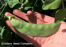 Oregon Giant Snow Pea