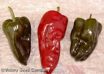 Poblano (Ancho) Hot Pepper