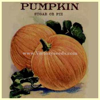 Small Sugar Pumpkin Also Know As New England Pie