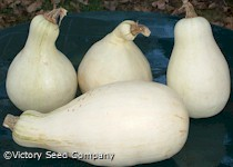 Tennessee Sweet Potato Pumpkin<br><b>SOLD OUT - Please Check Back</b>