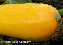 Ananashyi Zucchini Summer Squash<br><b>SOLD OUT</b>
