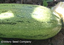 Caserta Summer Squash<br><b>SOLD OUT for 2020</b>