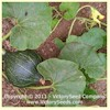 Hubbard, Chicago Warted - Winter Squash